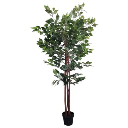 Ficuc Ks / plants  EVG-001